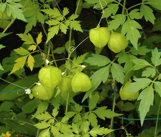 Cardiospermum  Halicacabum