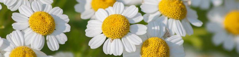 anteprima-partenio pianta